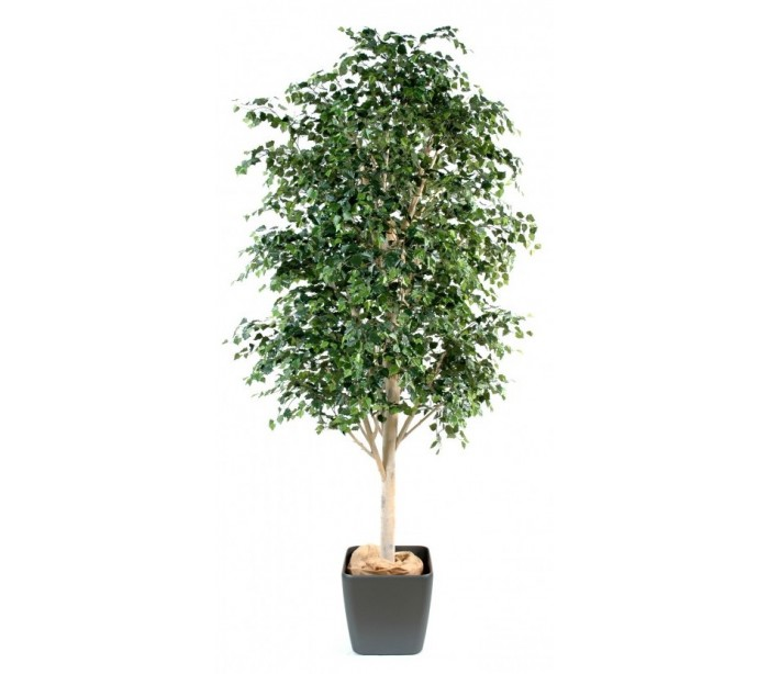 Image of   Bouleau træ i potte H300 cm